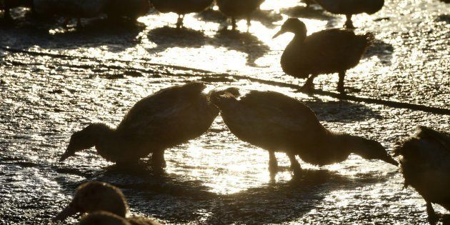 Ducks stand in a livestock farm in Bars, southwestern France, on December 5,