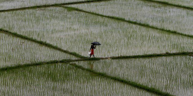 Village living farmer and daily wage laborers look at the agricultural paddy fields as they replants...