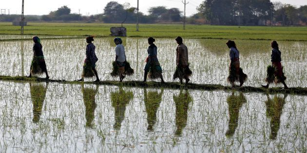 Farmers carry saplings in a paddy field on the outskirts of Ahmedabad,