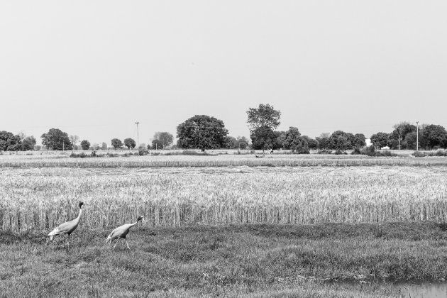 Two Sarus Cranes, state bird of Uttar Pradesh and a threatened species, at Basai Babas village in