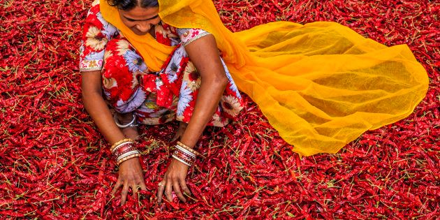 Young Indian woman sorting red chilli peppers near