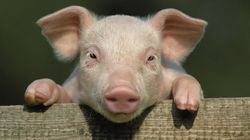 Surat Man Burns Two Piglets In Bid To Claim Insurance Money Of Four Non-Existent