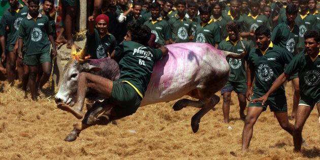 Men try to tame a bull at a traditional bull taming festival called 'Jallikattu' in Palamedu near Madurai,...
