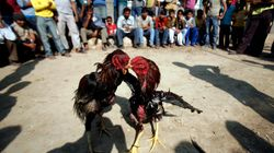 Banned By Law, Cockfighting Spawns A Multi-Crore Betting Business In Andhra