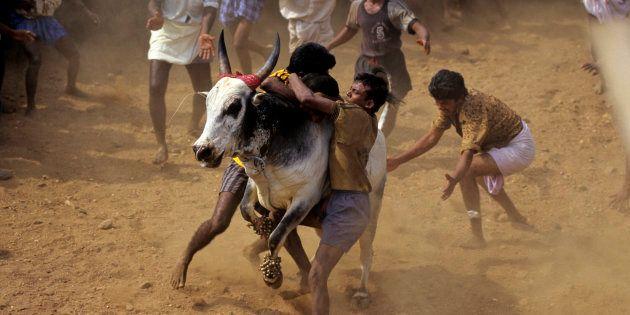 Jallikattu Row: Tamil Nadu Village Holds Festival In Defiance Of Supreme Court