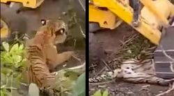 Tiger Pinned To The Ground By Earthmover During Rescue Operation Dies After A Few