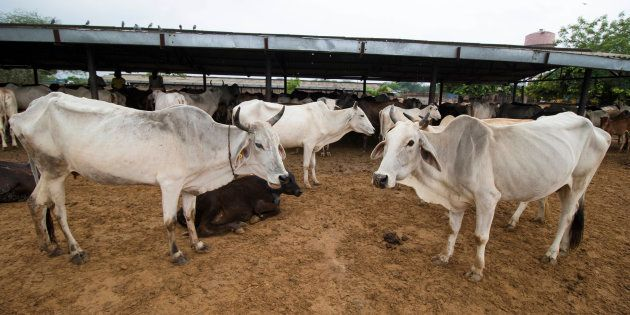 File photo of cows in the pathetic conditions at Hingonia Cow Rehabilitation Centre run by Jaipur Municipal...