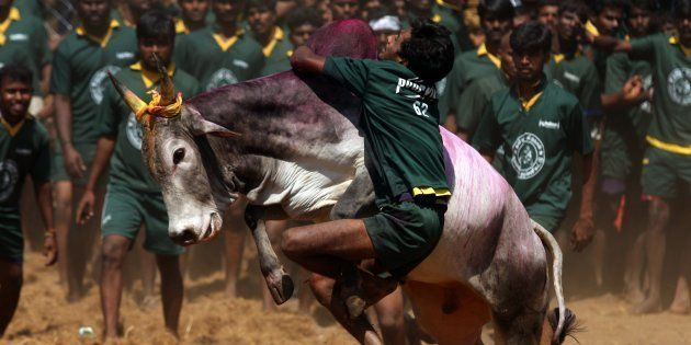 A traditional bull taming festival called 'Jallikattu' being held in Palamedu near