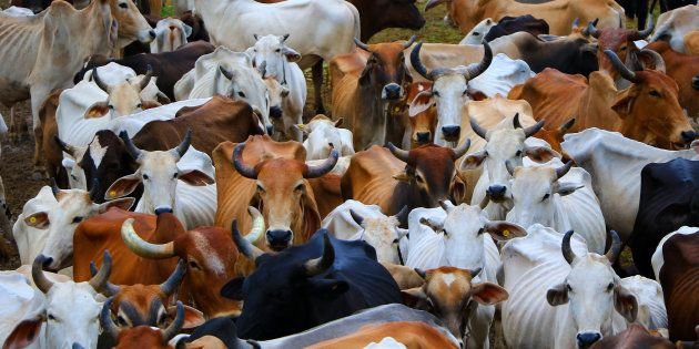 Cows at Hingonia Cow Rehabilitation Centre run by Jaipur Municipal