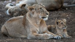 11 Lions Have Been Found Dead In Gujarat's Gir