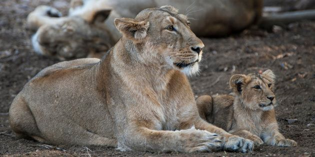 A file photo of lions at