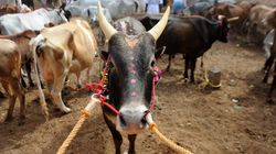 Jallikattu Is A Cruel Practice, But A Court Ban Is Not The