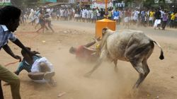 Jallikattu Held In Tamil Nadu After Week-Long Protests, Claims Two