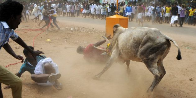 Jallikattu Held In Tamil Nadu After Week-Long Protests, Claims Two