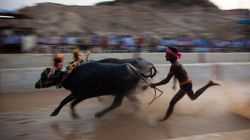 Now Siddaramaiah Seeks Centre's Favourable Response To Karnataka's Buffalo Racing Sport