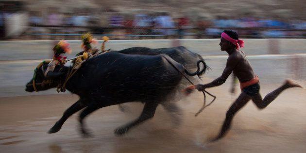 Amidst Jallikattu Row, Siddaramaiah Seeks Centre's Favourable Response To Karnataka's Buffalo Racing...