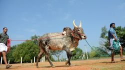 Jallikattu's Importance In Conservation And Culture Needs To Be