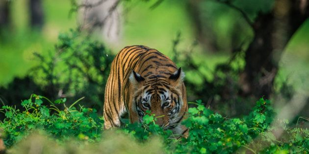Representative image of a tigress in