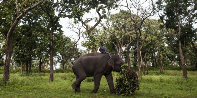 An Indian mahout riding a working elephant as they clear vegetation from a forest area at Bandipur Tiger...