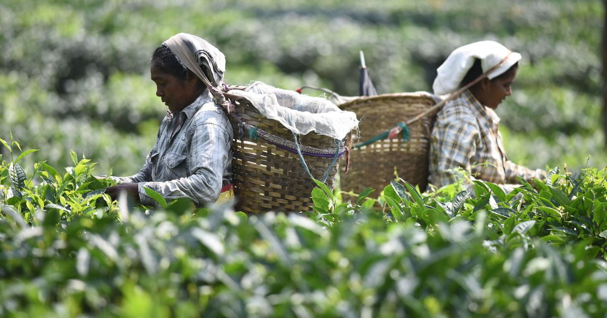 worlds primary tea producer - 1200×630