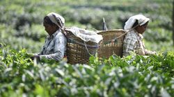 World Bank Finds Evidence Of Labour Abuse On Assam Tea Plantations It Owns With The