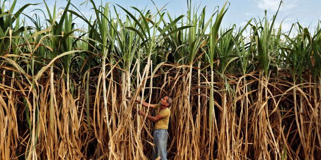 A farmer works in his sugarcane field on the outskirts of Ahmedabad, India February 28, 2015. REUTERS/Amit...