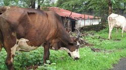 India's Emaciated Cattle Needs Weed-Free Grasslands Not 'Gau