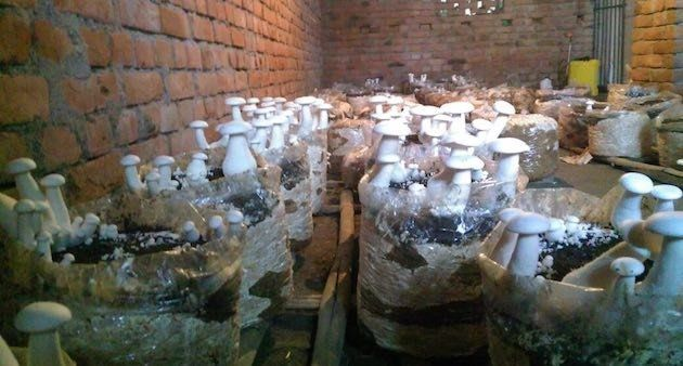 Mushrooms are being cultivated indoors in Anantpur. (Photo by Mohd Imran