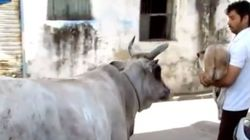 VIDEO: Cow Watches Anxiously As Rescuers Save Her Calf's