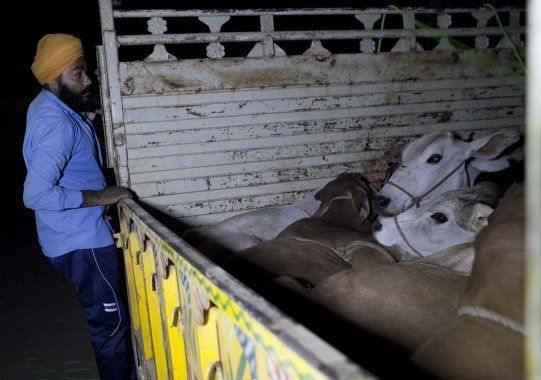 A member of a 'cow vigilante' group looks into the back of a truck that his group group chased down on...