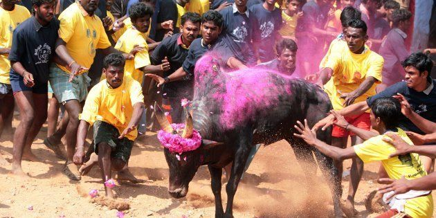 Jallikattu the ancient and bizarre bull-wrestling sport happens every year in the month of January throughout Tamil Nadu to celebrate Pongal.
