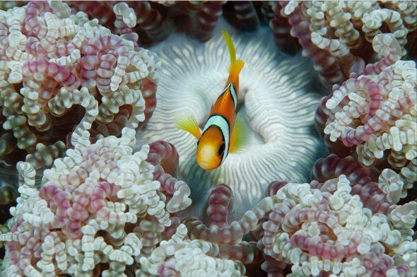 This could be Nemo at home in an anemone, South Andamans 2015.