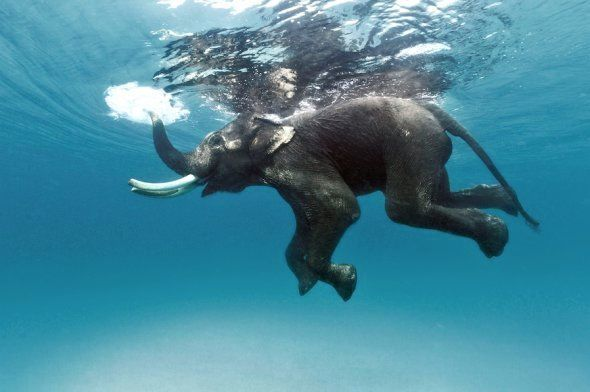 The (late) Rajan, the last of the swimming elephants, Andamans,