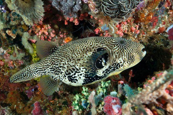 Giant puffer fish merges with its backdrop seamlessly, Komodo 2014.