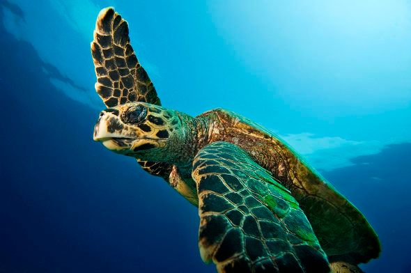 A hawksbill turtle poses for Sumer