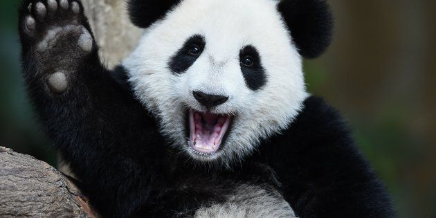 Good news for panda
