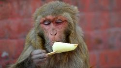 Monkeys Occupy Beds In IIT-Bombay, Driving The Students Up The