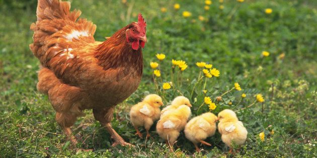 World Vegetarian Day: 6 Amazing Facts That Prove Chickens Are No