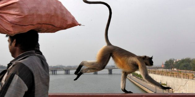 A monkey runs past a man as it crosses a bridge on the Sabarmati river in Ahmedabad.