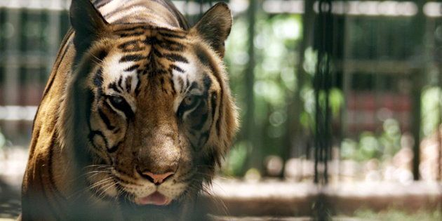 Indian tiger takes a stroll in its cage at a zoo in