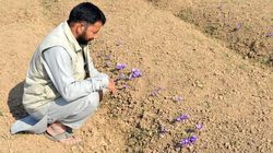 Kashmir's Saffron Farmers Fear Another Harvest In The