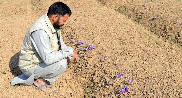 Saffron farmers are worried about declining production in recent