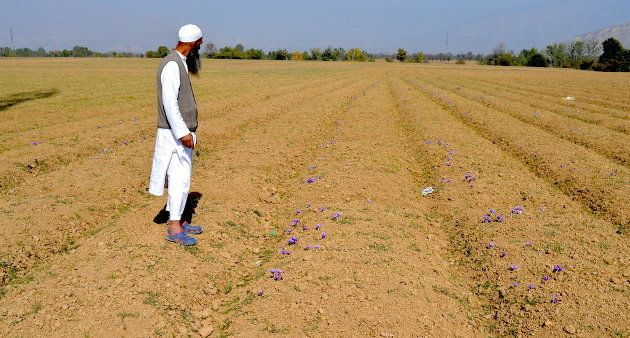 A saffron farmer taking a look in his
