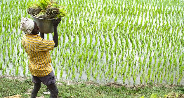 A field laborer carrying paddy transplants in Tamil