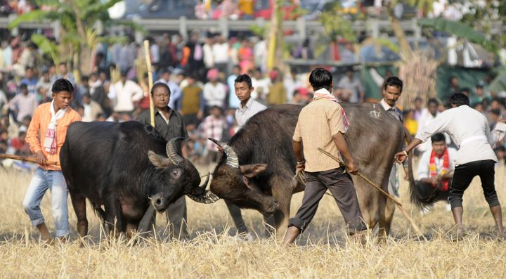 Indians watch a traditional buffalo fight in progress at Ahatguri, some 80 kms away from Guwahati, the capital city of India�s northeastern state of Assam on 15 January 2014. The age-old buffalo fight is organised on the occasion of the harvest festival 'Bhogali Bihu' in Assam. PHOTO/ Biju BORO