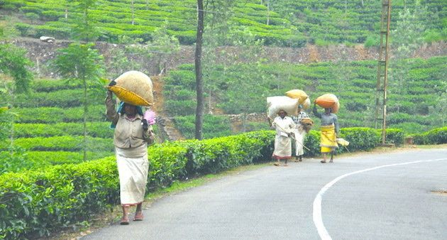 Women carrying bags of freshly harvested tea leaves in Munnar,