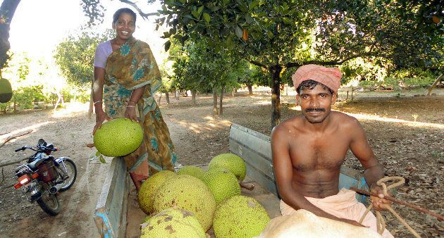 A farmer couple on their way to the market with their jackfruit harvest