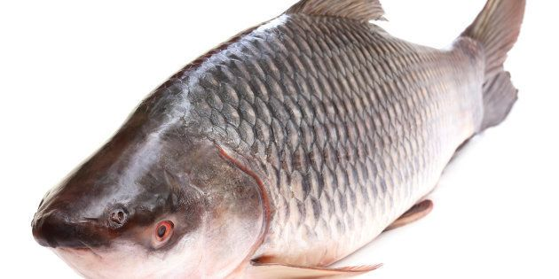 Popular Rohu or Rohit fish of Indian
