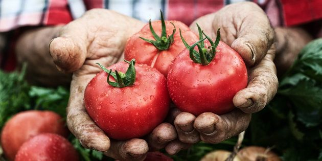 Hands holding tomato harvest. Crate with vegetables