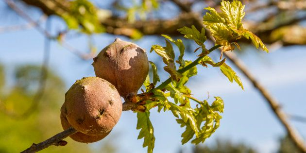 Oak galls are caused by a parasitic wasp